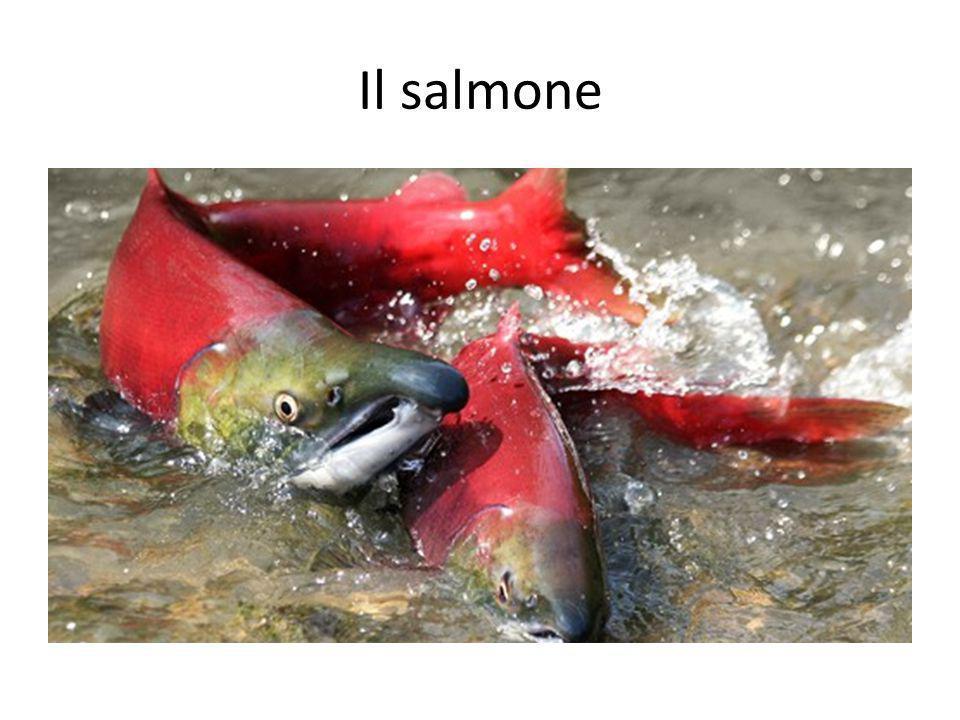 Il salmone Salmon.
