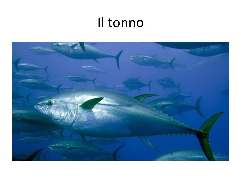 Il tonno Tuna.