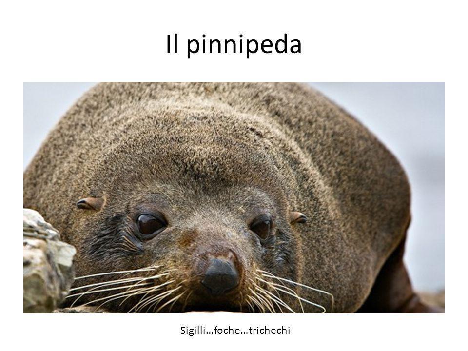 Il pinnipeda Sigilli…foche…trichechi Pinnipeds