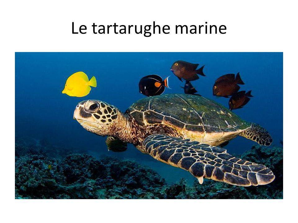 Le tartarughe marine Sea turtles