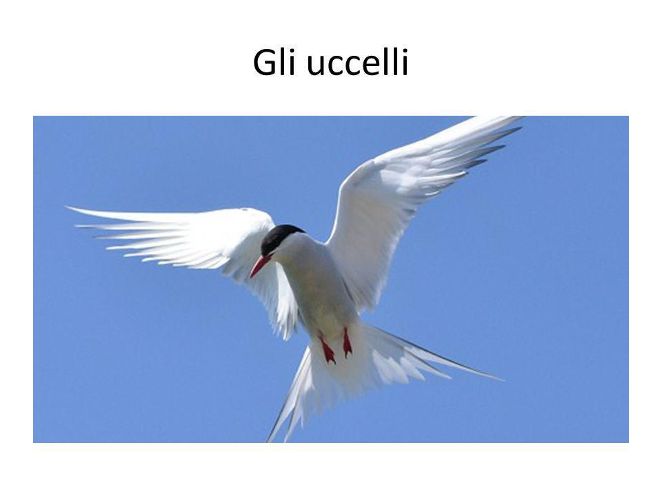 Gli uccelli Birds. About 1,800 of the world s bird species are migratory. Some of these journeys are among the longest in the world.