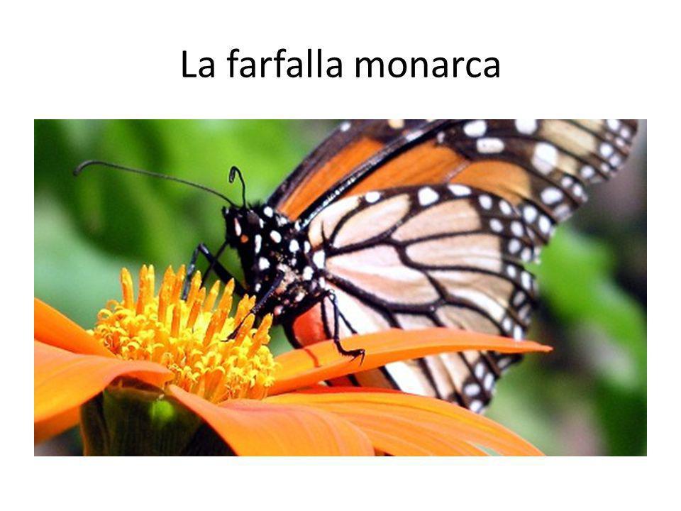 La farfalla monarca Monarch butterflies