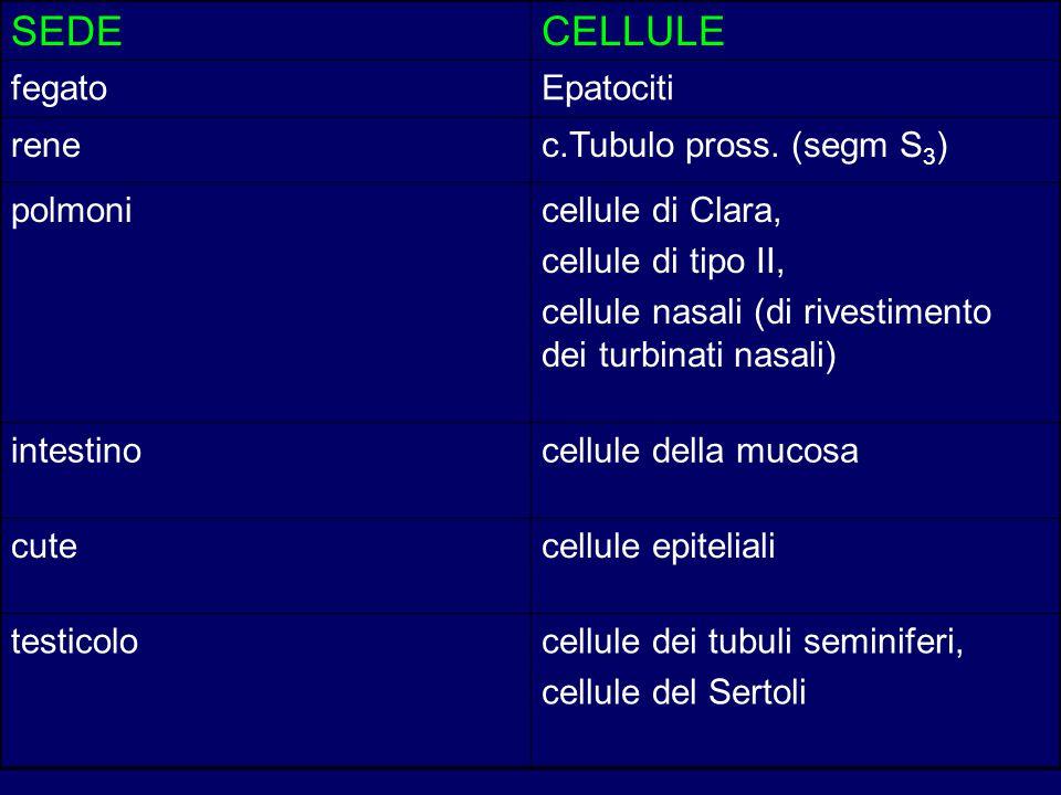 SEDE CELLULE fegato Epatociti rene c.Tubulo pross. (segm S3) polmoni