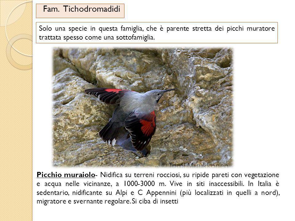 Fam. Tichodromadidi Solo una specie in questa famiglia, che è parente stretta dei picchi muratore trattata spesso come una sottofamiglia.
