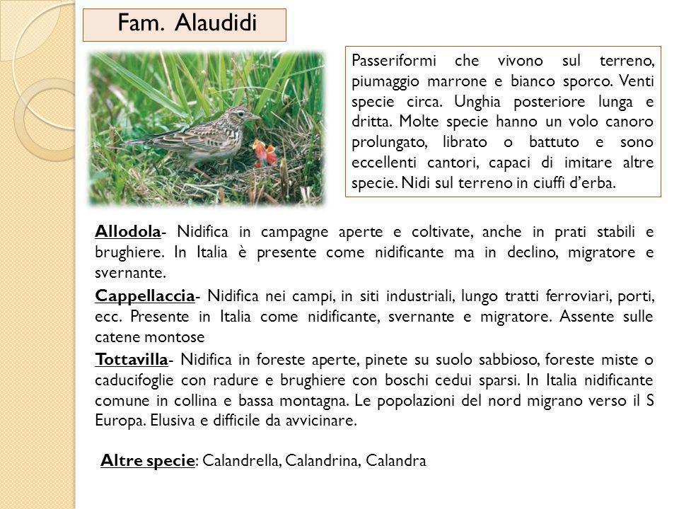 Fam. Alaudidi
