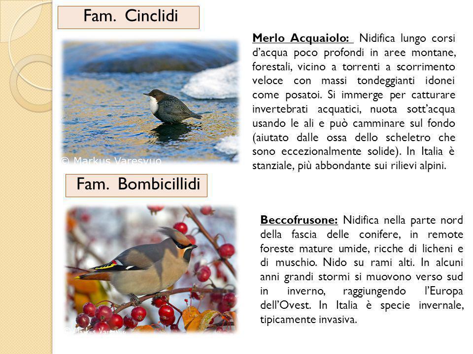 Fam. Cinclidi Fam. Bombicillidi