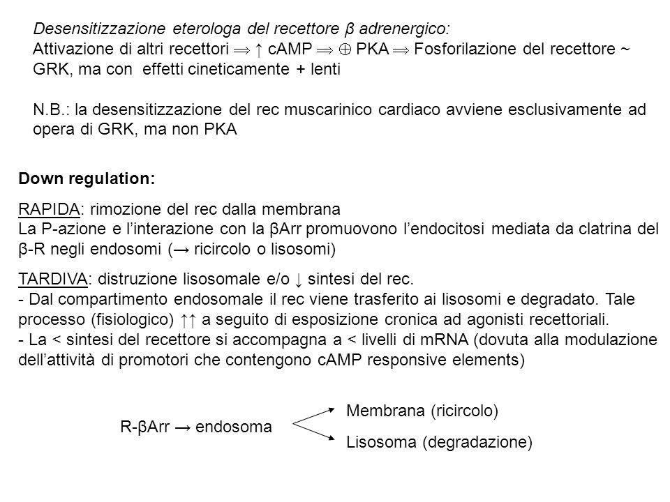 Desensitizzazione eterologa del recettore β adrenergico: