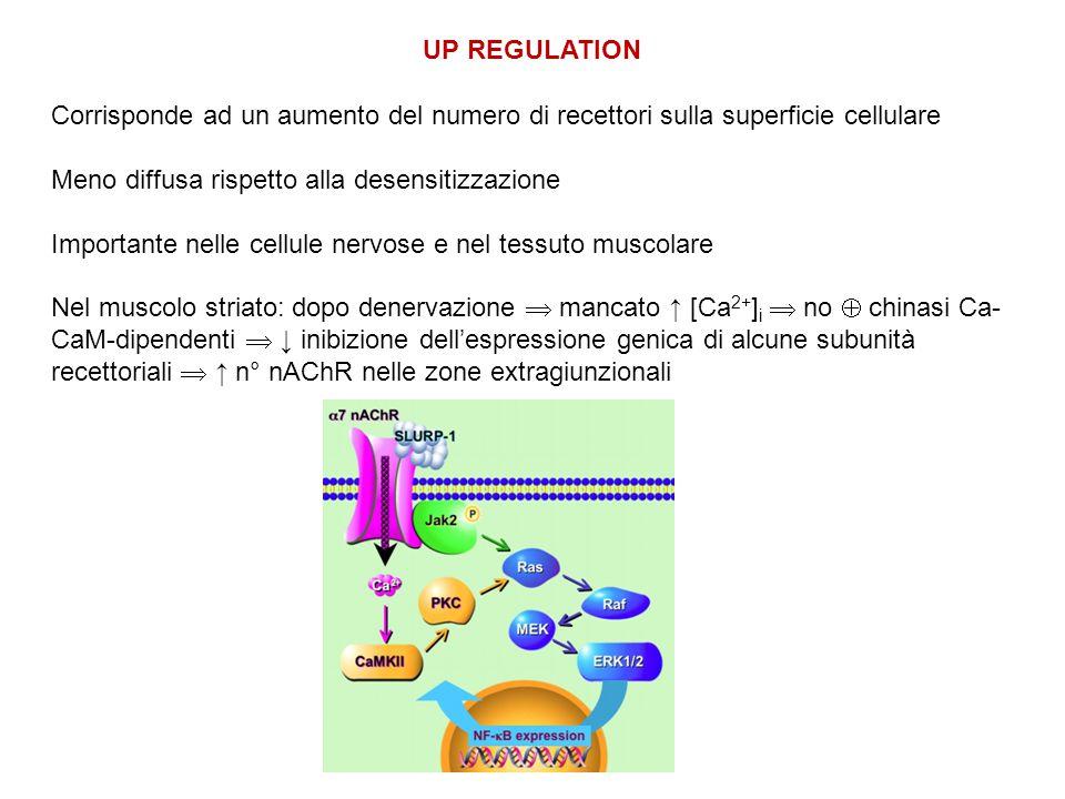 UP REGULATION Corrisponde ad un aumento del numero di recettori sulla superficie cellulare. Meno diffusa rispetto alla desensitizzazione.