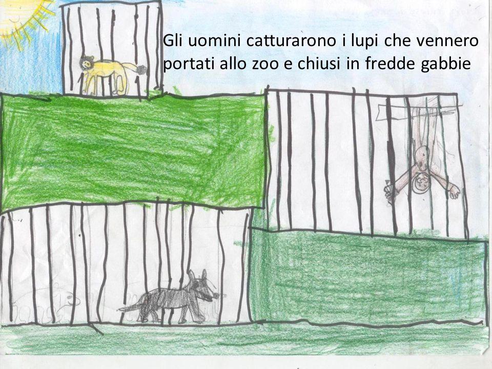 Gli uomini catturarono i lupi che vennero portati allo zoo e chiusi in fredde gabbie