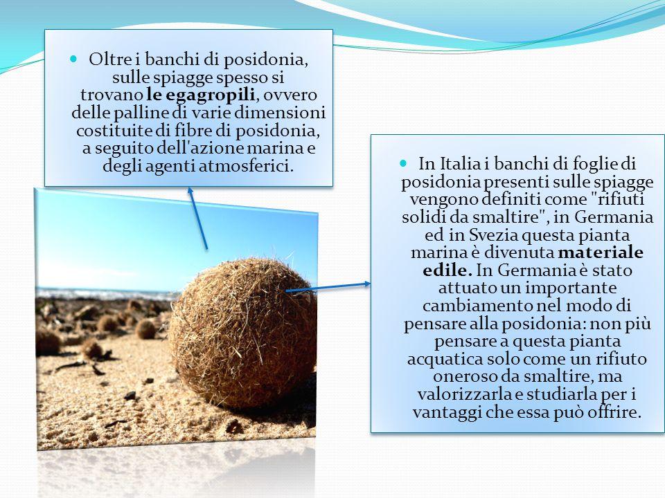 Oltre i banchi di posidonia, sulle spiagge spesso si trovano le egagropili, ovvero delle palline di varie dimensioni costituite di fibre di posidonia, a seguito dell azione marina e degli agenti atmosferici.