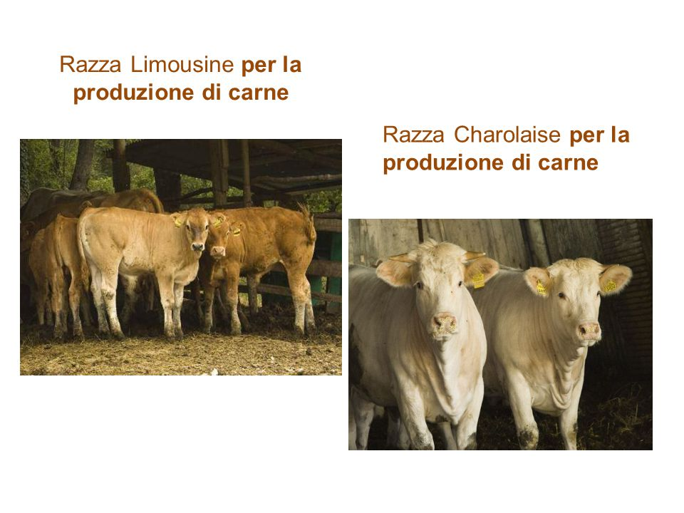 Razza Limousine per la produzione di carne