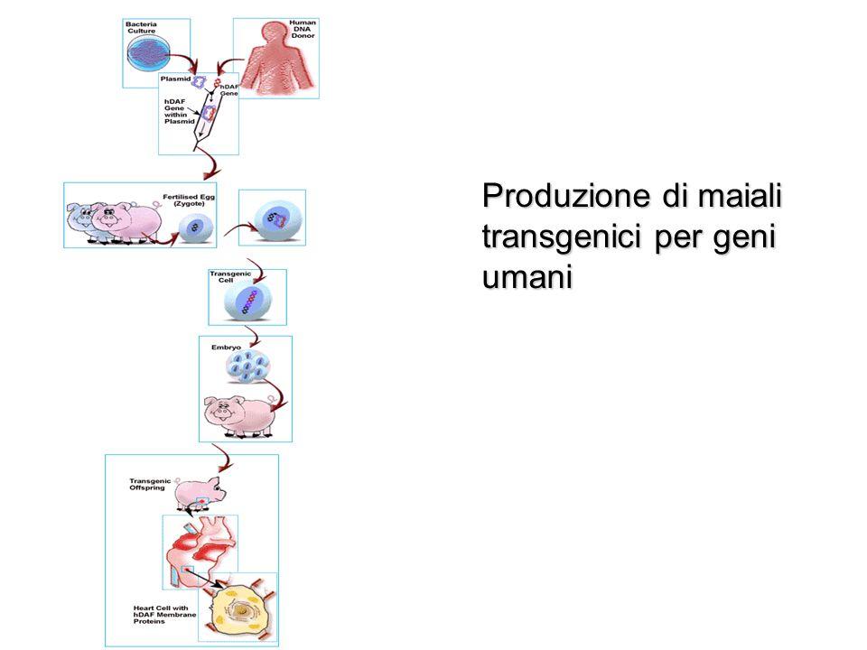 Produzione di maiali transgenici per geni umani