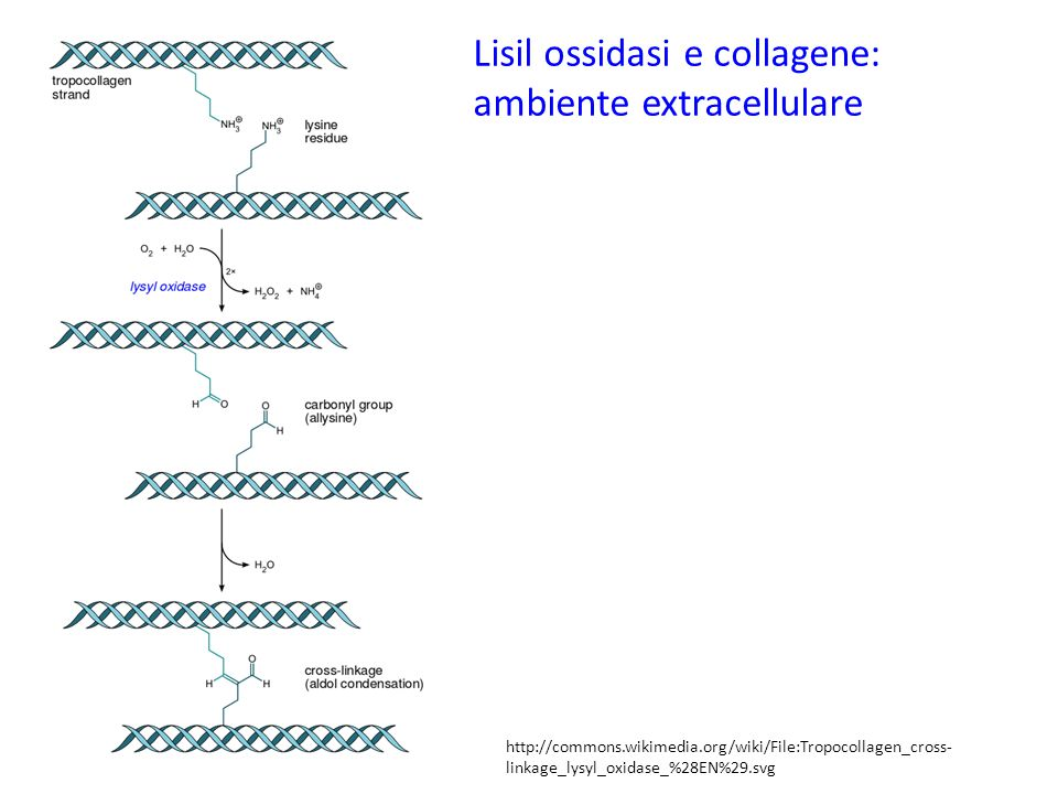 Lisil ossidasi e collagene: ambiente extracellulare