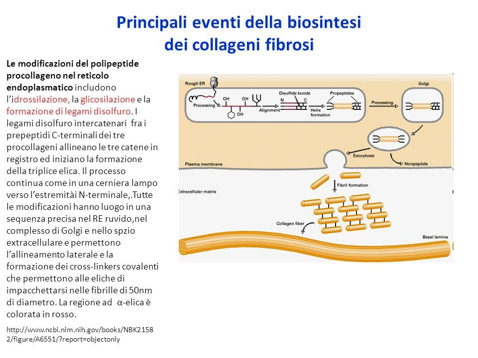 Principali eventi della biosintesi dei collageni fibrosi