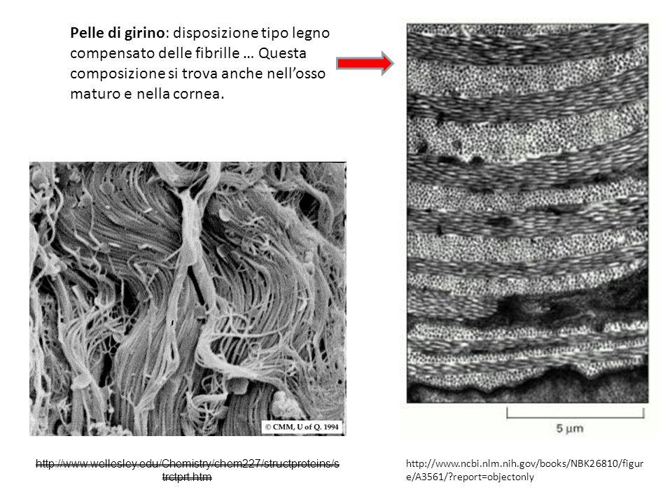 Pelle di girino: disposizione tipo legno compensato delle fibrille … Questa composizione si trova anche nell'osso maturo e nella cornea.