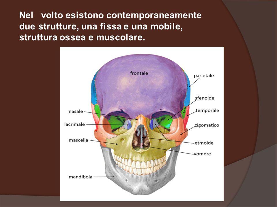 Nel volto esistono contemporaneamente due strutture, una fissa e una mobile, struttura ossea e muscolare.