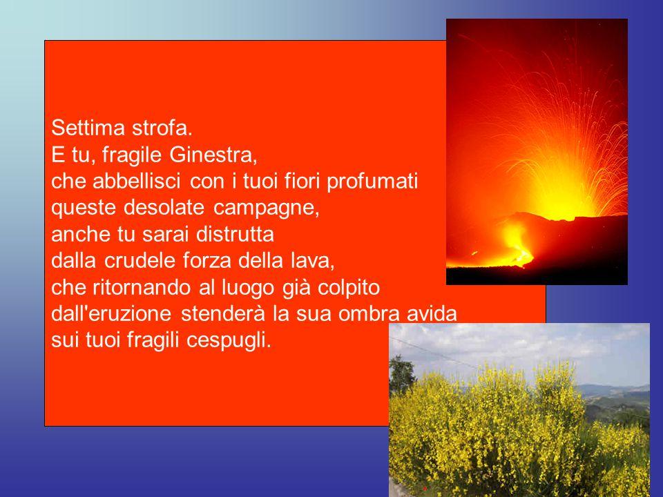Settima strofa. E tu, fragile Ginestra, che abbellisci con i tuoi fiori profumati. queste desolate campagne,