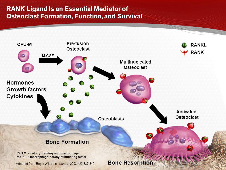 Pre-fusion Osteoclast Multinucleated Osteoclast