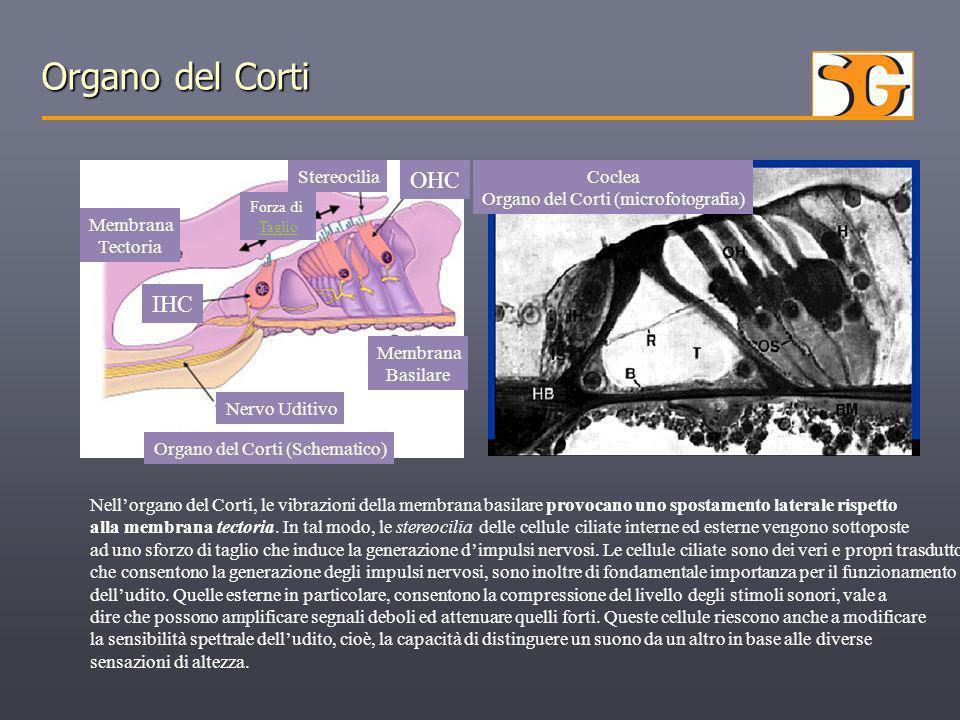 Organo del Corti (microfotografia)