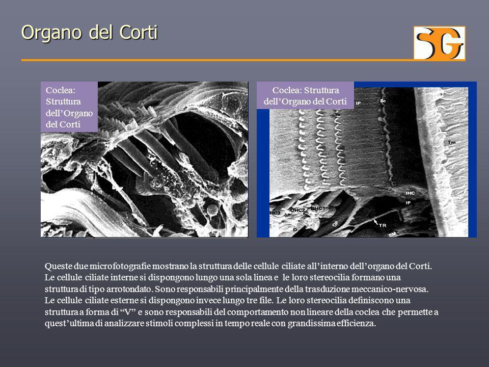 Organo del Corti Coclea: Struttura dell'Organo del Corti