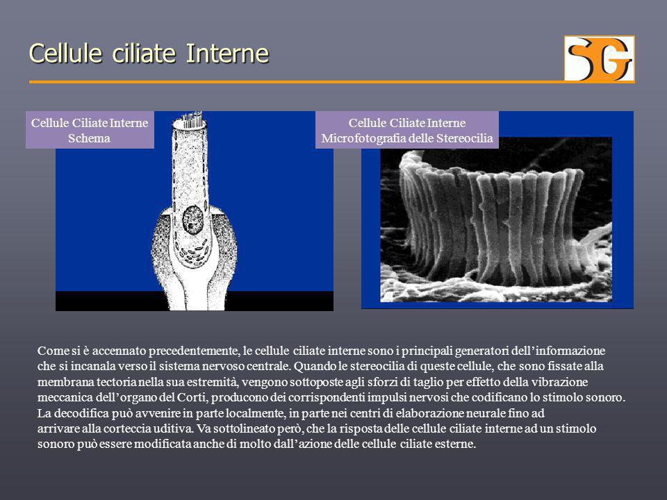 Cellule ciliate Interne