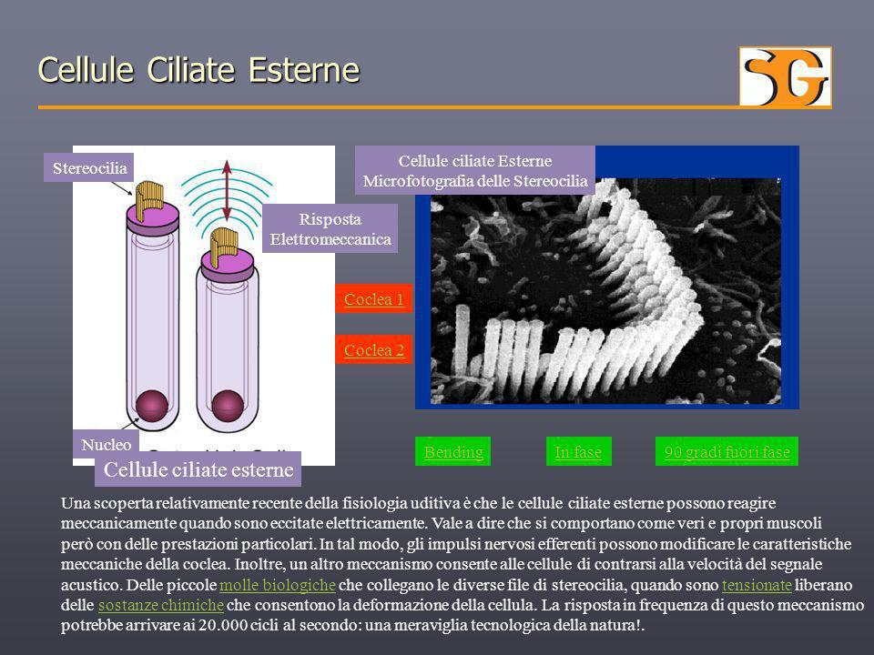 Cellule Ciliate Esterne