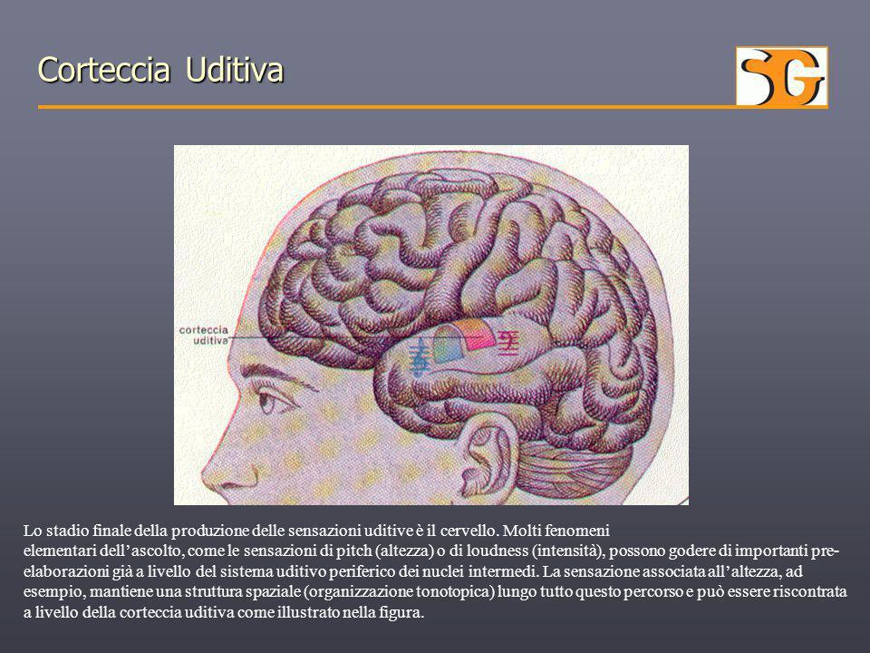 Corteccia Uditiva Lo stadio finale della produzione delle sensazioni uditive è il cervello. Molti fenomeni.