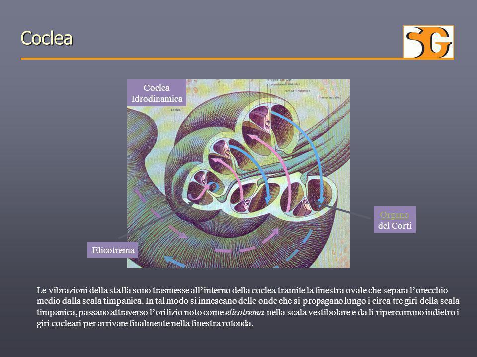 Coclea Coclea Idrodinamica Organo del Corti Elicotrema