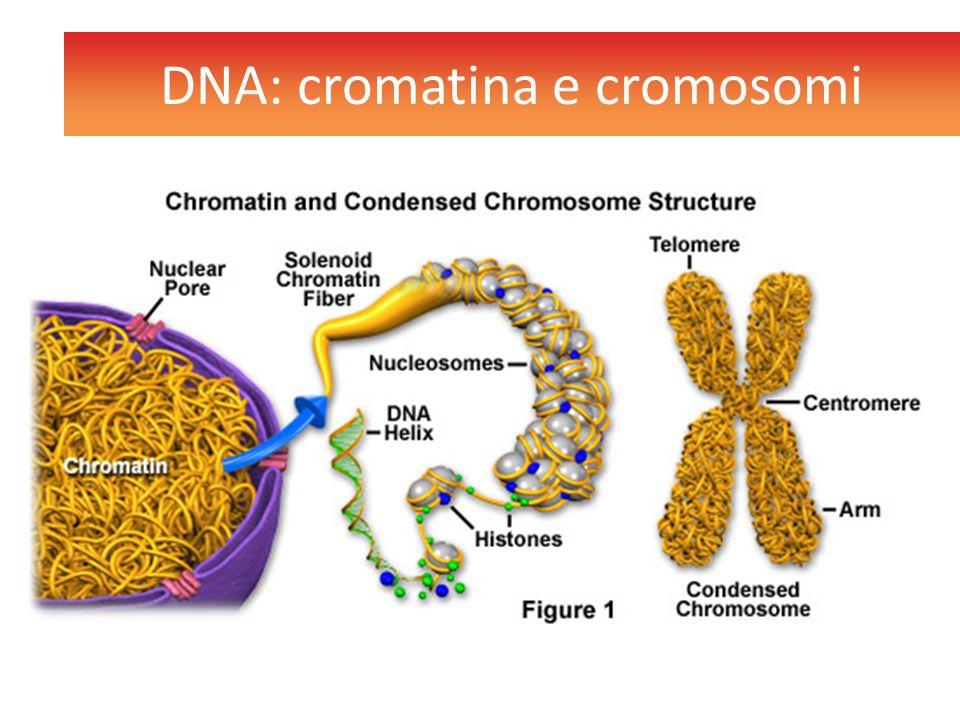 DNA: cromatina e cromosomi