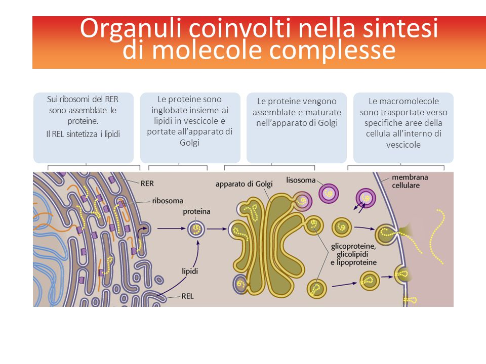 Organuli coinvolti nella sintesi di molecole complesse