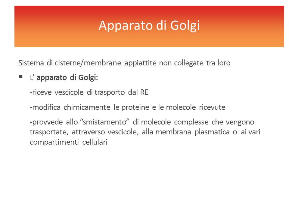 Apparato di Golgi Sistema di cisterne/membrane appiattite non collegate tra loro. L' apparato di Golgi: