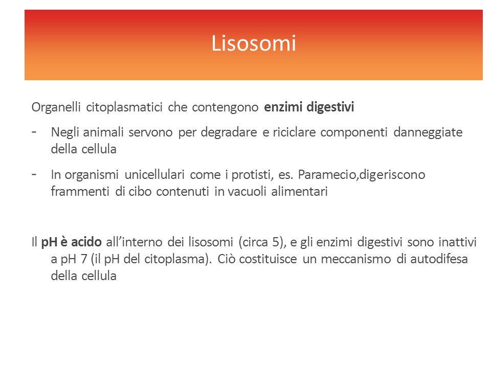 Lisosomi Organelli citoplasmatici che contengono enzimi digestivi