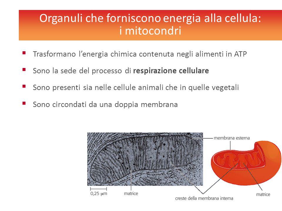 Organuli che forniscono energia alla cellula: i mitocondri