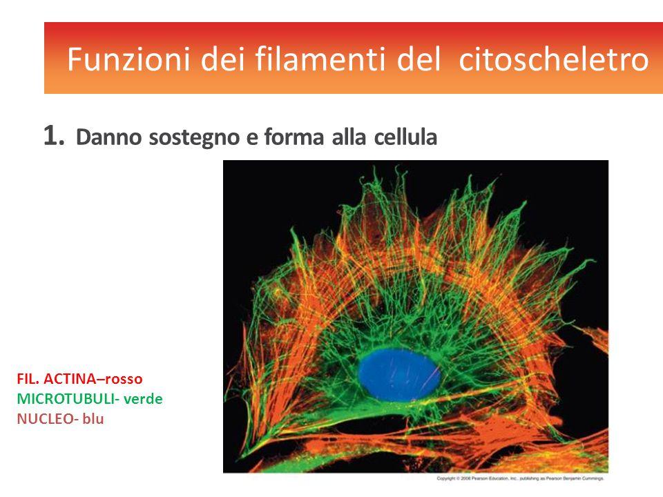 Funzioni dei filamenti del citoscheletro