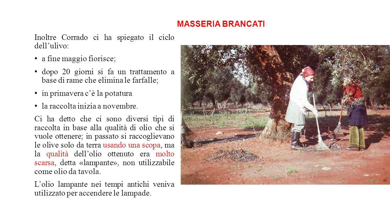MASSERIA BRANCATI Inoltre Corrado ci ha spiegato il ciclo dell'ulivo: a fine maggio fiorisce;