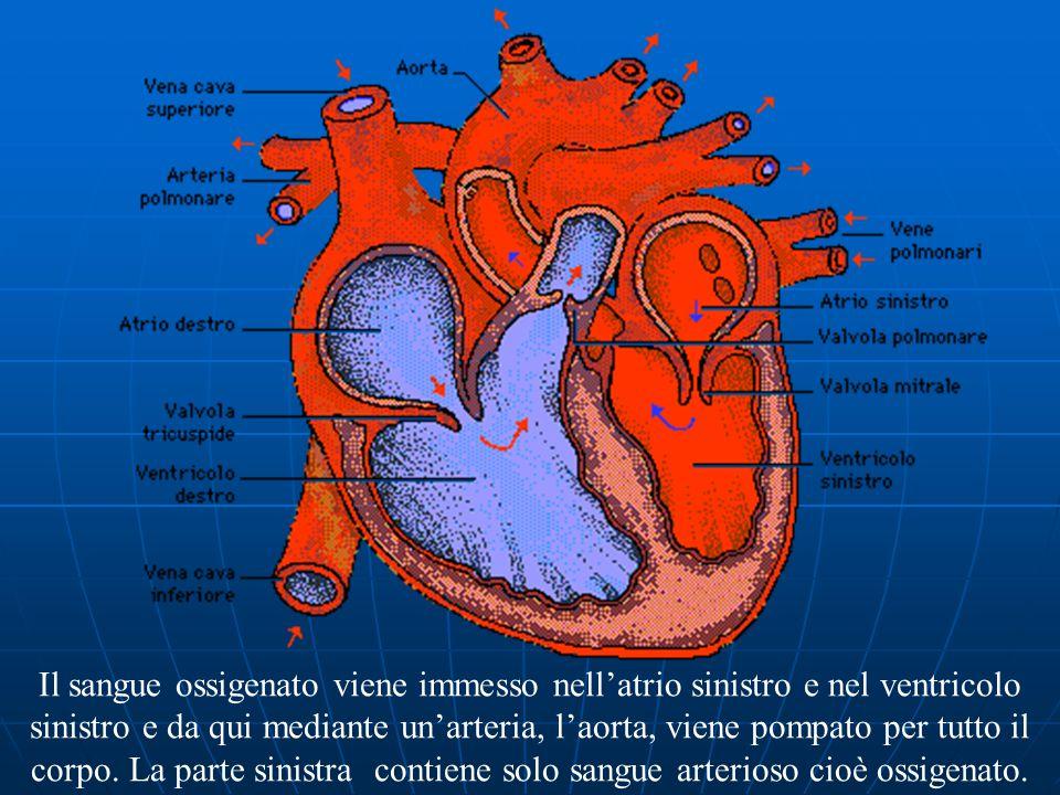 Il sangue ossigenato viene immesso nell'atrio sinistro e nel ventricolo sinistro e da qui mediante un'arteria, l'aorta, viene pompato per tutto il corpo.