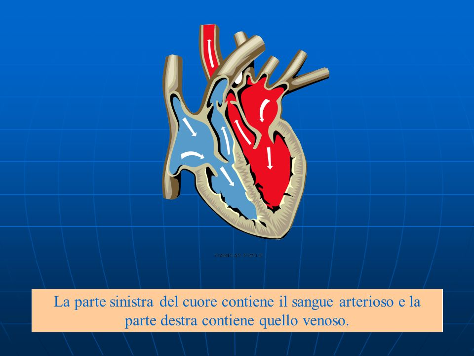 La parte sinistra del cuore contiene il sangue arterioso e la parte destra contiene quello venoso.