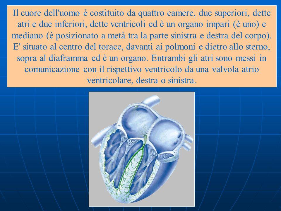 Il cuore dell uomo è costituito da quattro camere, due superiori, dette atri e due inferiori, dette ventricoli ed è un organo impari (è uno) e mediano (è posizionato a metà tra la parte sinistra e destra del corpo).