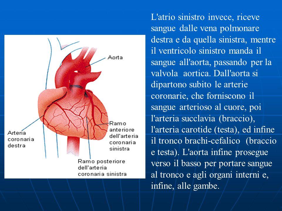 L atrio sinistro invece, riceve sangue dalle vena polmonare destra e da quella sinistra, mentre il ventricolo sinistro manda il sangue all aorta, passando per la valvola aortica.