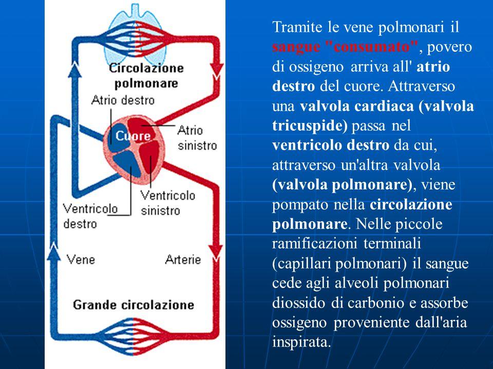 Tramite le vene polmonari il sangue consumato , povero di ossigeno arriva all atrio destro del cuore.
