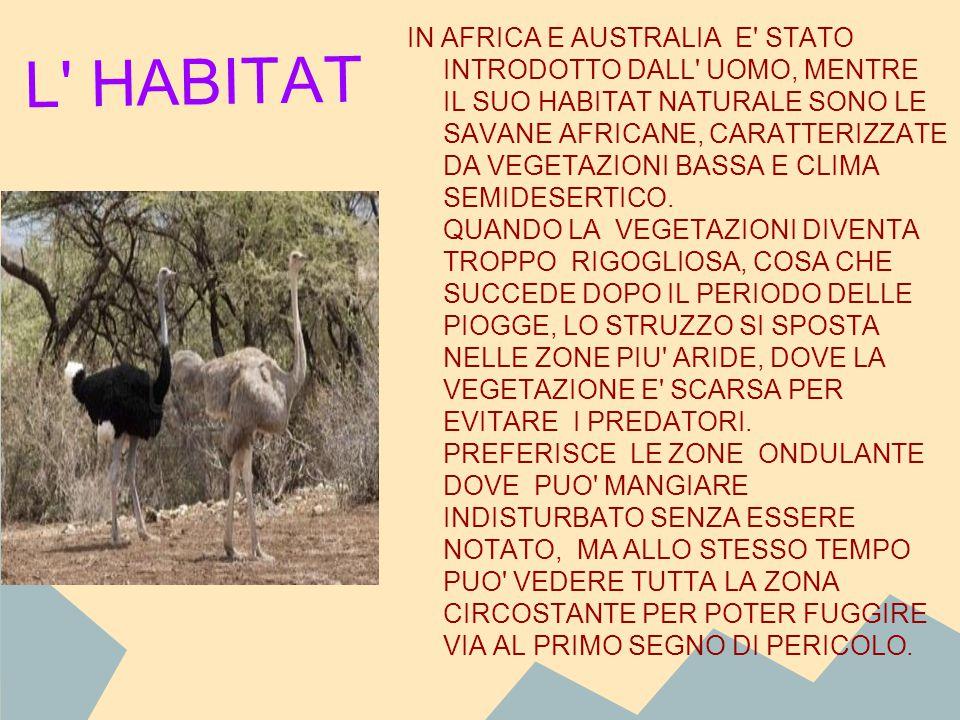 IN AFRICA E AUSTRALIA E STATO INTRODOTTO DALL UOMO, MENTRE IL SUO HABITAT NATURALE SONO LE SAVANE AFRICANE, CARATTERIZZATE DA VEGETAZIONI BASSA E CLIMA SEMIDESERTICO. QUANDO LA VEGETAZIONI DIVENTA TROPPO RIGOGLIOSA, COSA CHE SUCCEDE DOPO IL PERIODO DELLE PIOGGE, LO STRUZZO SI SPOSTA NELLE ZONE PIU ARIDE, DOVE LA VEGETAZIONE E SCARSA PER EVITARE I PREDATORI. PREFERISCE LE ZONE ONDULANTE DOVE PUO MANGIARE INDISTURBATO SENZA ESSERE NOTATO, MA ALLO STESSO TEMPO PUO VEDERE TUTTA LA ZONA CIRCOSTANTE PER POTER FUGGIRE VIA AL PRIMO SEGNO DI PERICOLO.