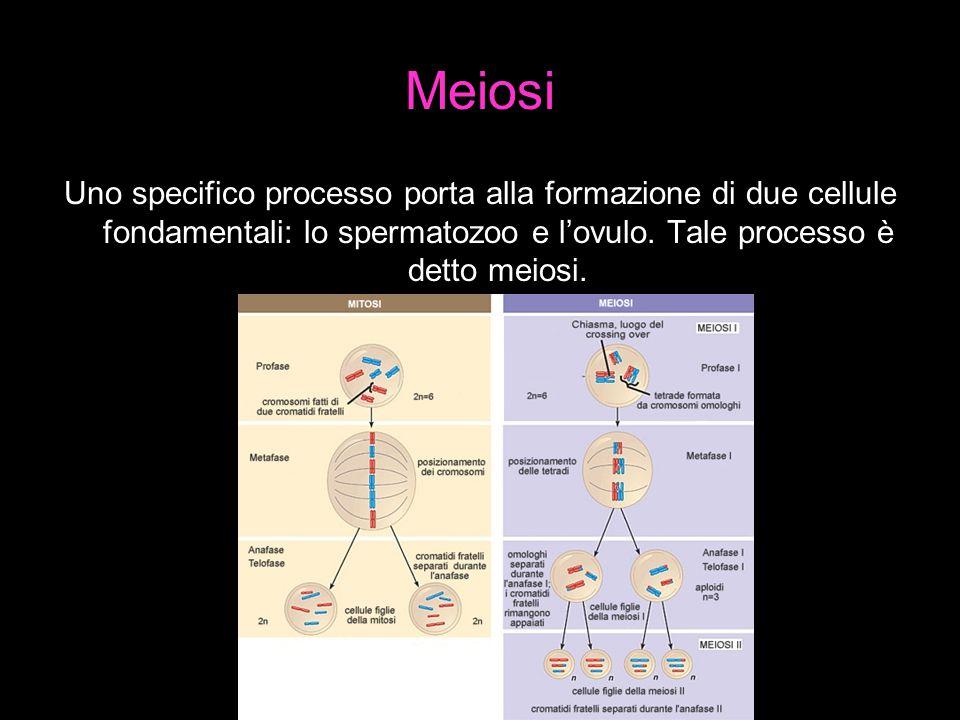 Meiosi Uno specifico processo porta alla formazione di due cellule fondamentali: lo spermatozoo e l'ovulo.