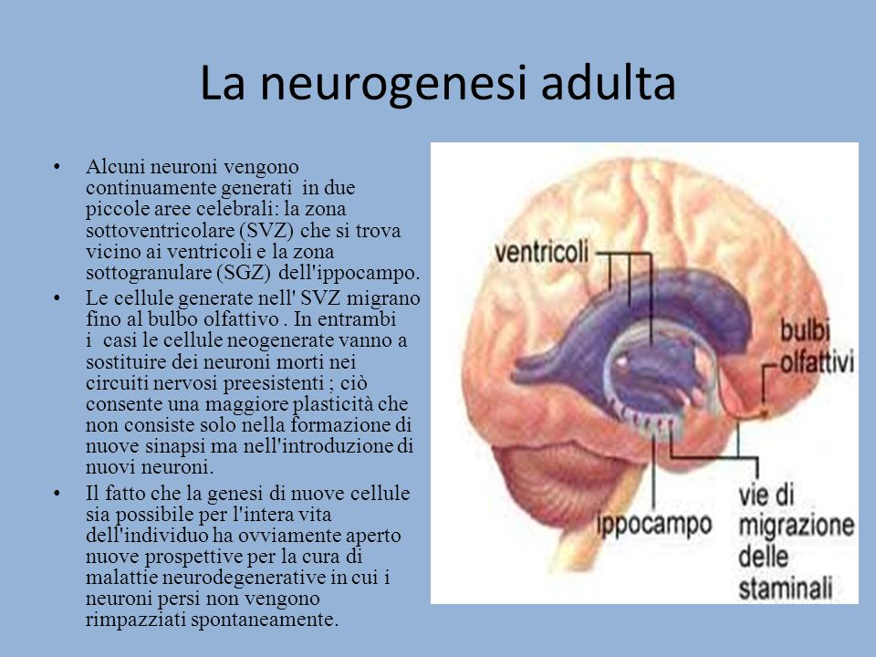 La neurogenesi adulta