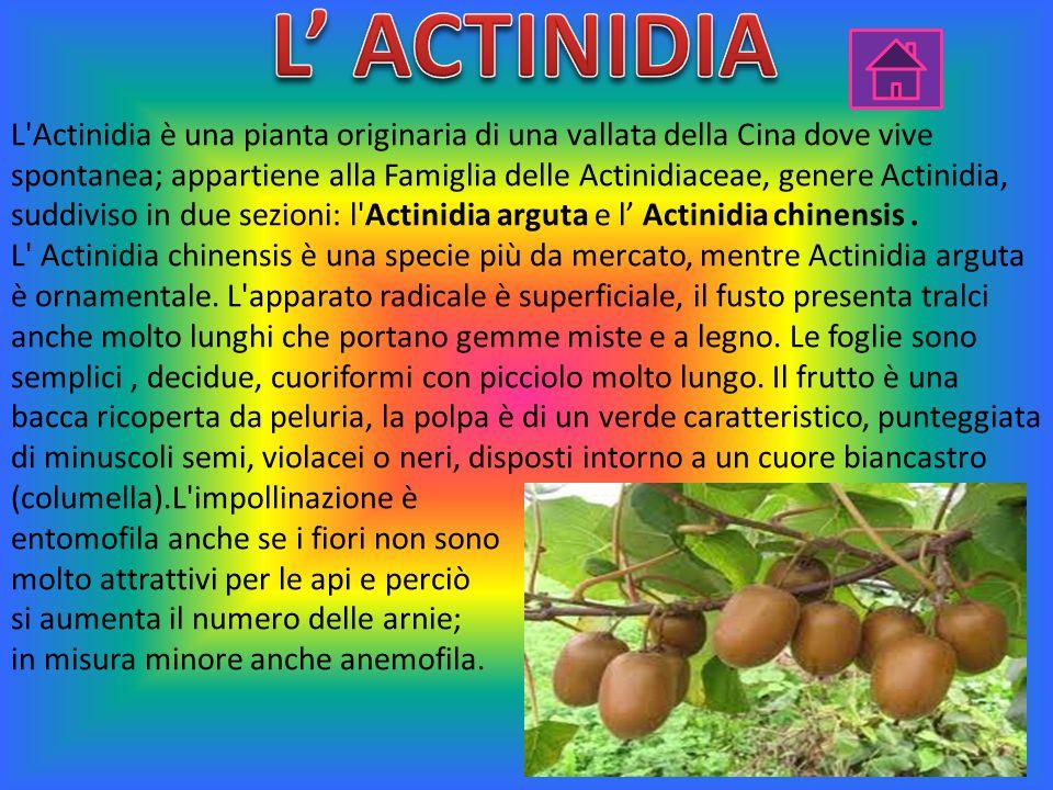 L' ACTINIDIA
