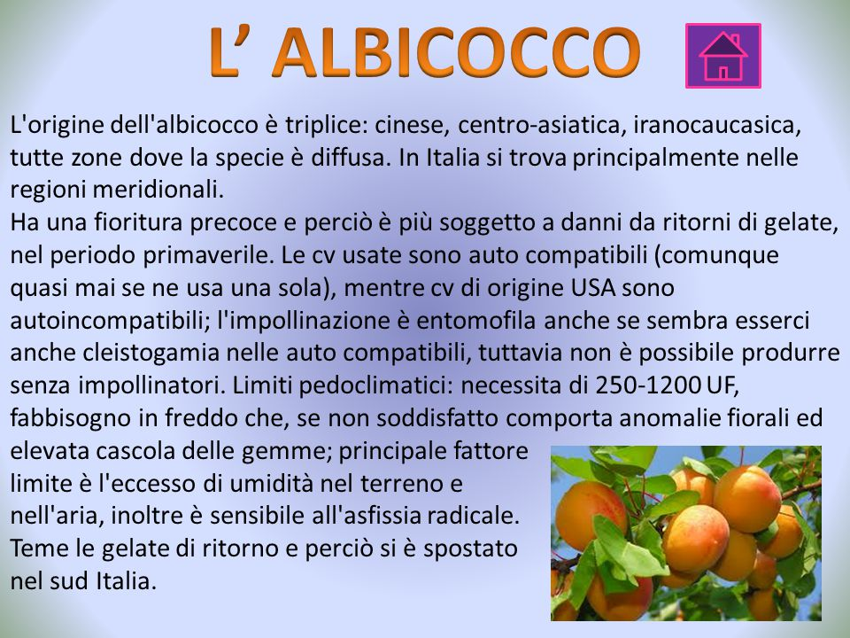 L' ALBICOCCO