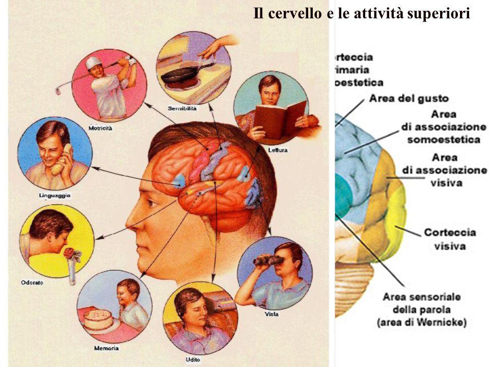 Il cervello e le attività superiori