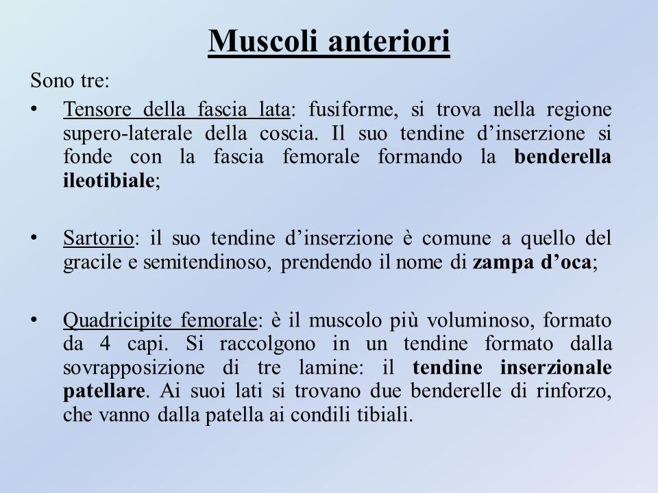 Muscoli anteriori Sono tre: