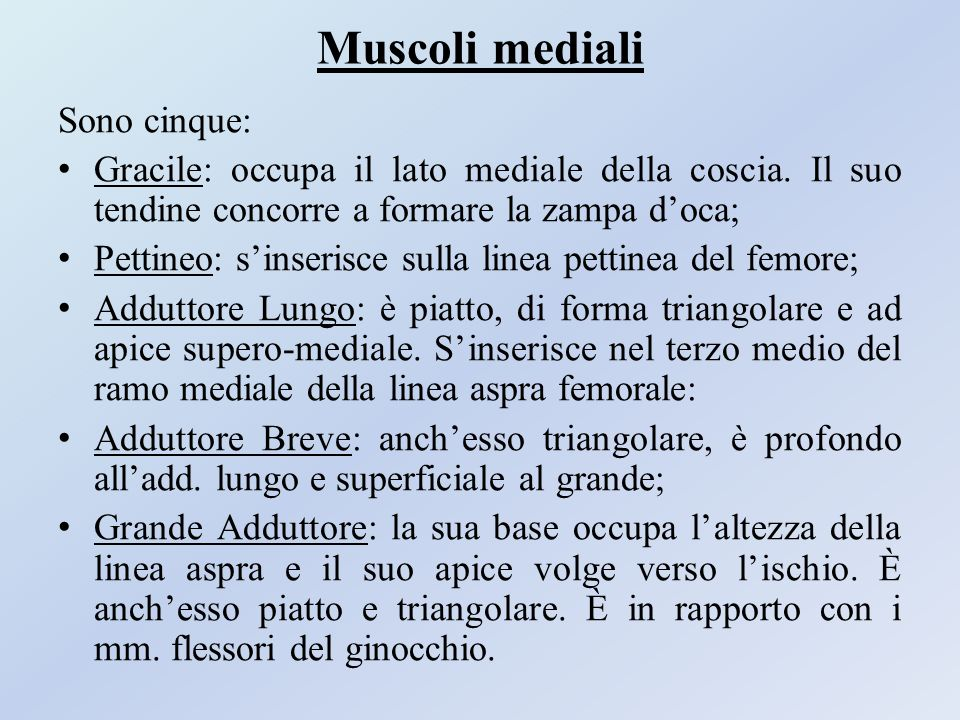 Muscoli mediali Sono cinque: