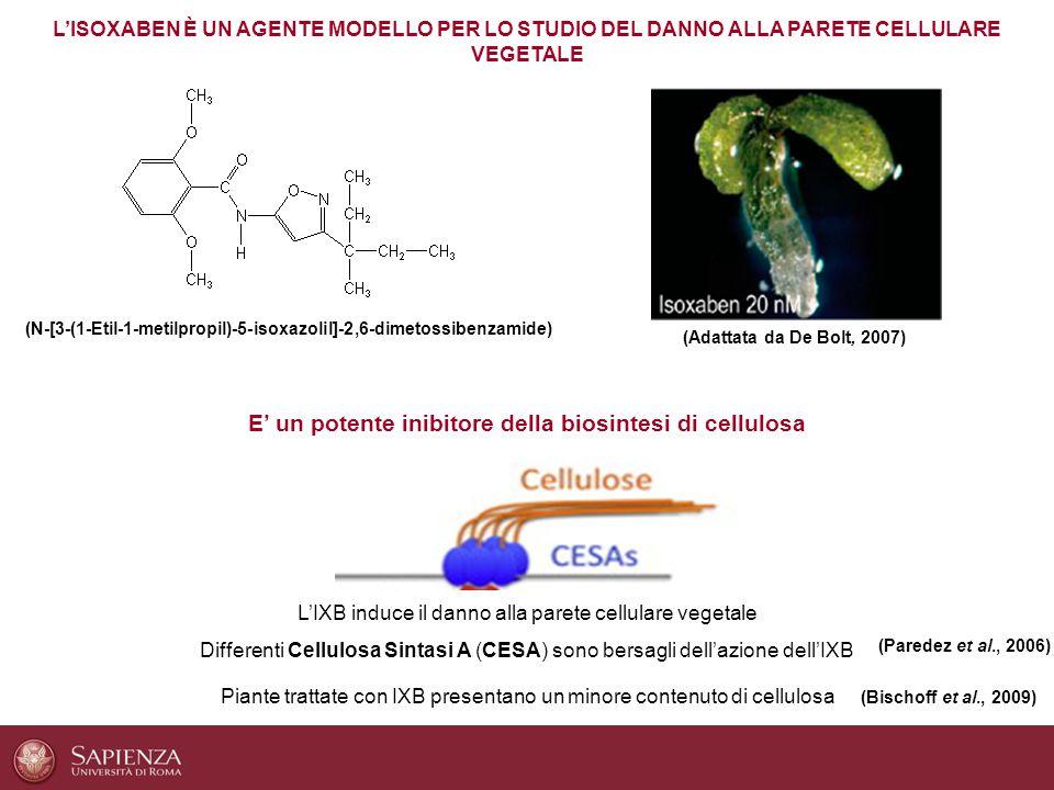 E' un potente inibitore della biosintesi di cellulosa