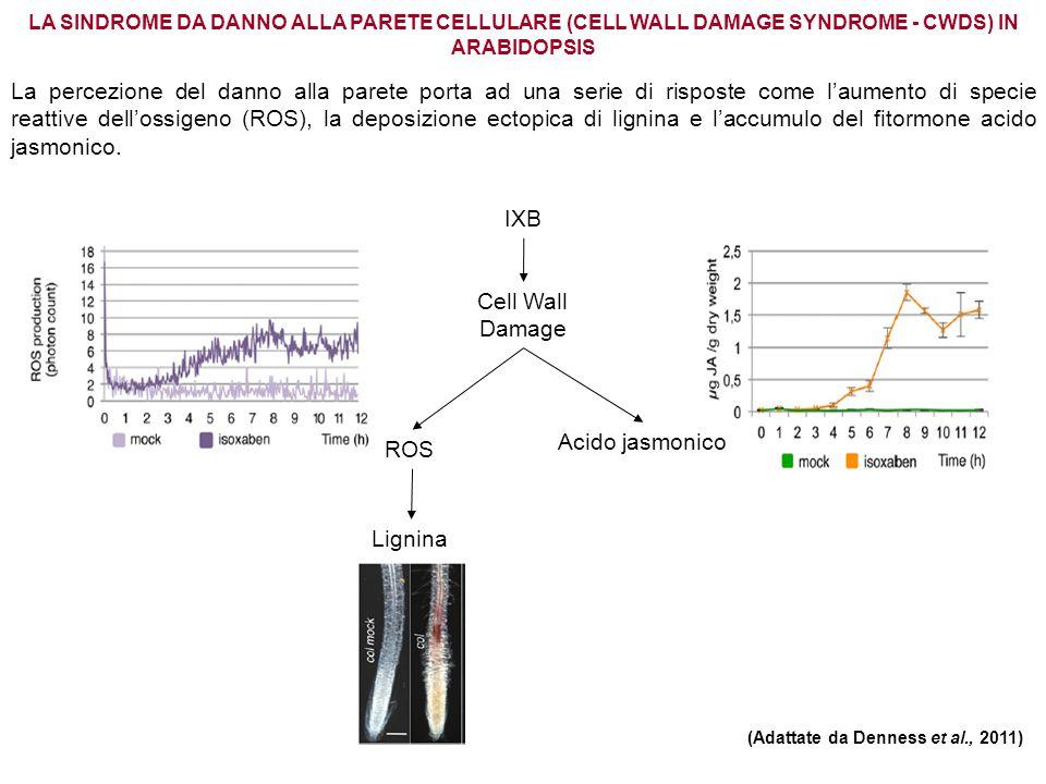 LA SINDROME DA DANNO ALLA PARETE CELLULARE (CELL WALL DAMAGE SYNDROME - CWDS) IN ARABIDOPSIS